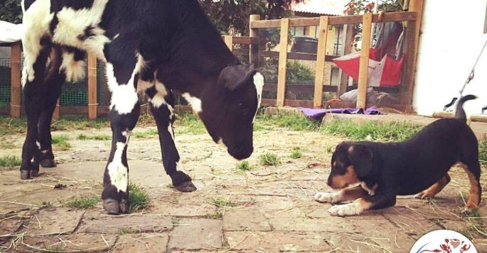 perrito-vaca