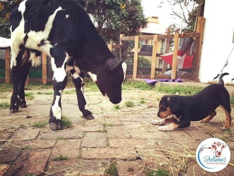 perrito-vaca10