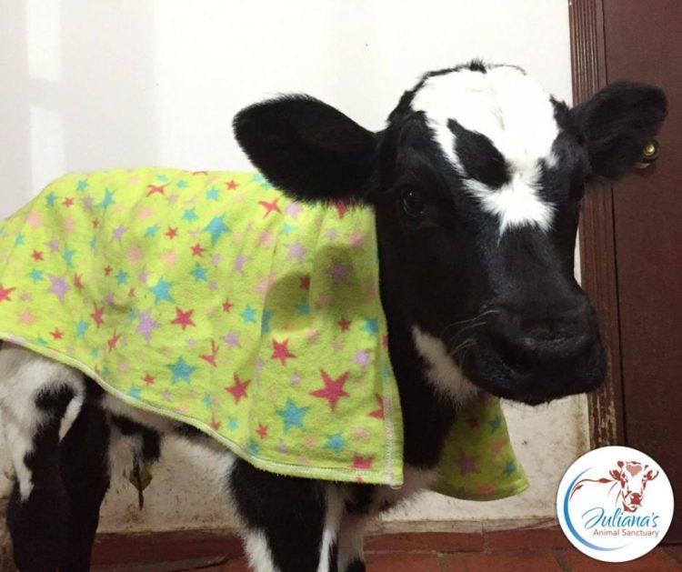 perrito-vaca5