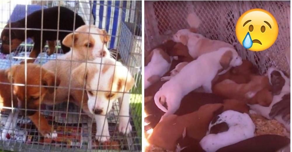 perros-hacinados-jaulas-mercado-de-pulgas