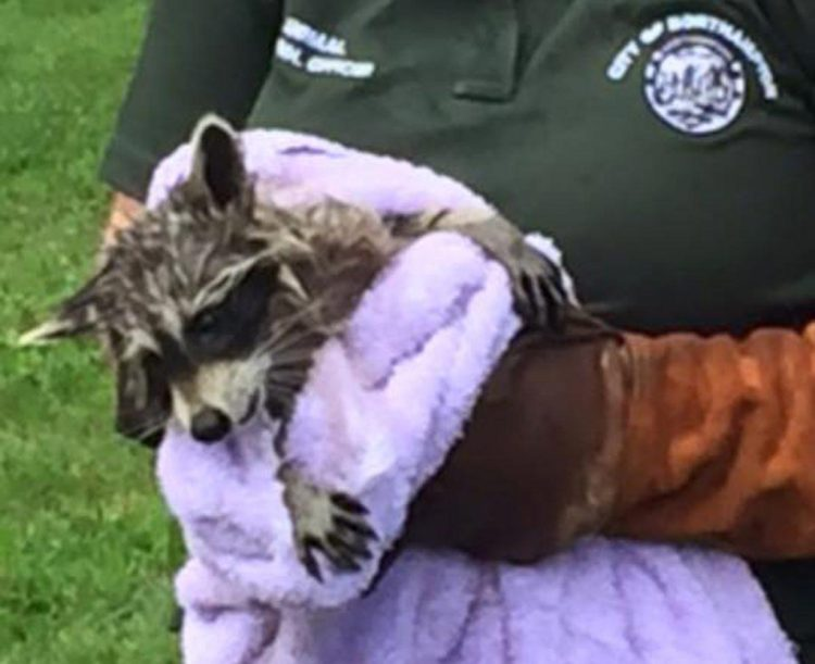 policia-rescata-mapache-alcantarilla3