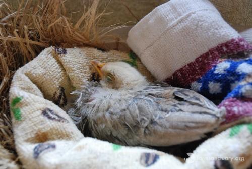tierno polluelo recibe oportunidad de vivir 2