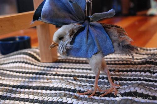 tierno polluelo recibe oportunidad de vivir 3
