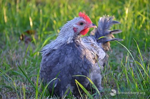 tierno polluelo recibe oportunidad de vivir 4