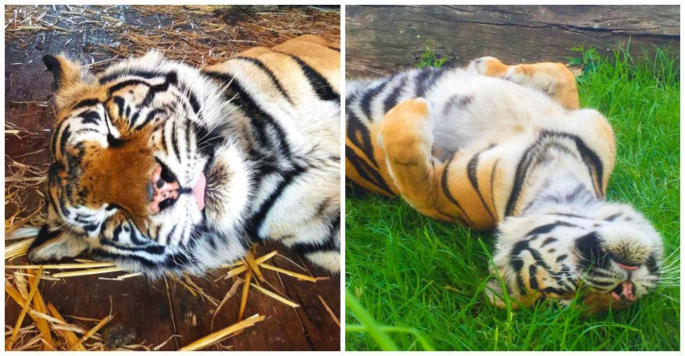 tigre-ciego