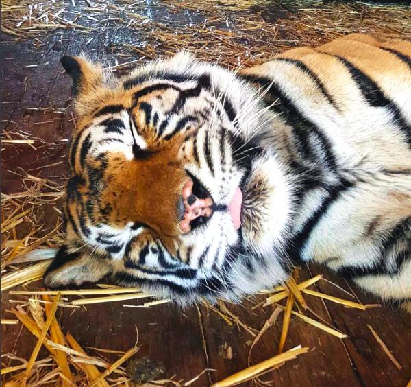 tigre-ciego2