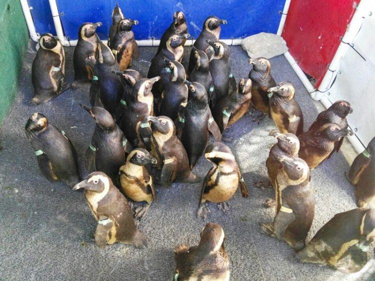 92-pinguinos-1