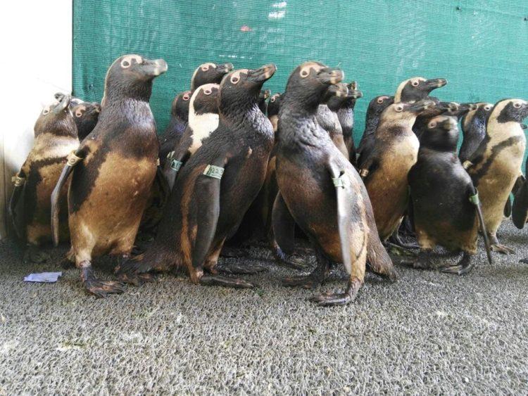92-pinguinos-3