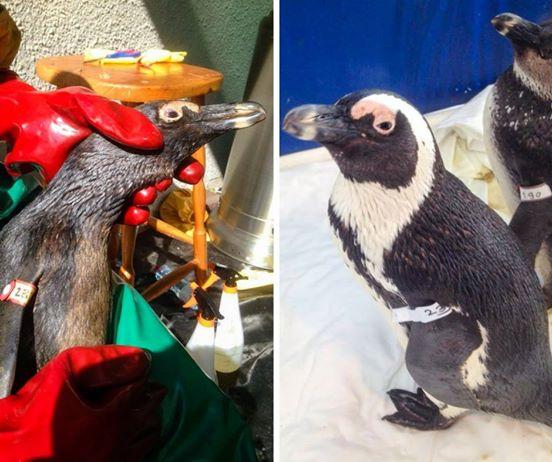 92-pinguinos-7