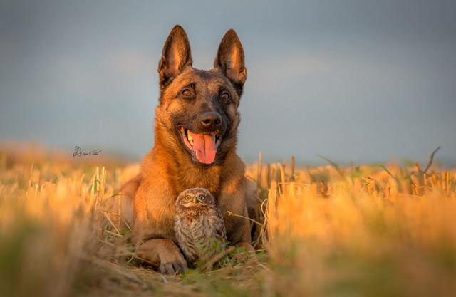 amistad-inusual-fotos-hermosas-perro-belga-y-pequeno-mochuelo-juntos-1