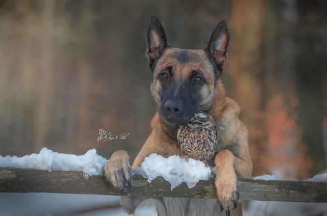 amistad-inusual-fotos-hermosas-perro-belga-y-pequeno-mochuelo-juntos-10