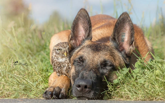 amistad-inusual-fotos-hermosas-perro-belga-y-pequeno-mochuelo-juntos-11