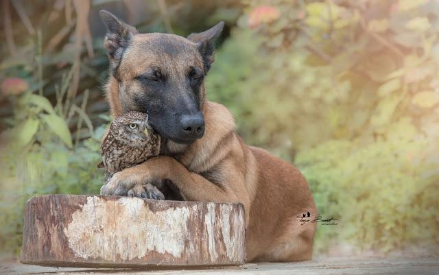amistad-inusual-fotos-hermosas-perro-belga-y-pequeno-mochuelo-juntos-12