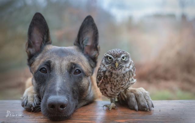 amistad-inusual-fotos-hermosas-perro-belga-y-pequeno-mochuelo-juntos-13