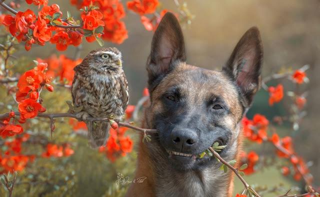 amistad-inusual-fotos-hermosas-perro-belga-y-pequeno-mochuelo-juntos-14