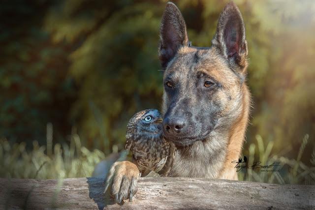 amistad-inusual-fotos-hermosas-perro-belga-y-pequeno-mochuelo-juntos-15