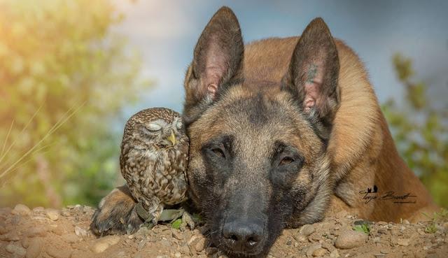 amistad-inusual-fotos-hermosas-perro-belga-y-pequeno-mochuelo-juntos-16