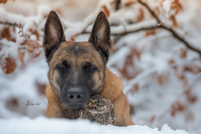 amistad-inusual-fotos-hermosas-perro-belga-y-pequeno-mochuelo-juntos-17