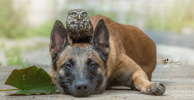 amistad-inusual-fotos-hermosas-perro-belga-y-pequeno-mochuelo-juntos-18