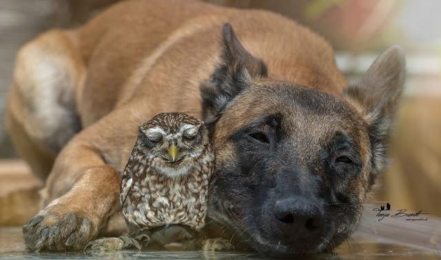 amistad-inusual-fotos-hermosas-perro-belga-y-pequeno-mochuelo-juntos-2