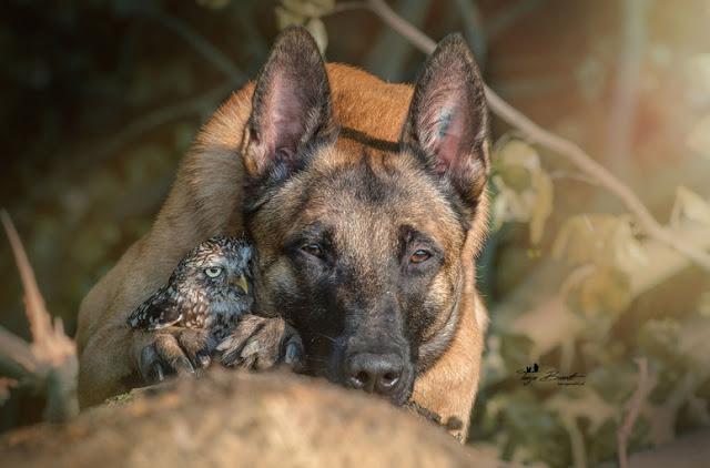 amistad-inusual-fotos-hermosas-perro-belga-y-pequeno-mochuelo-juntos-3