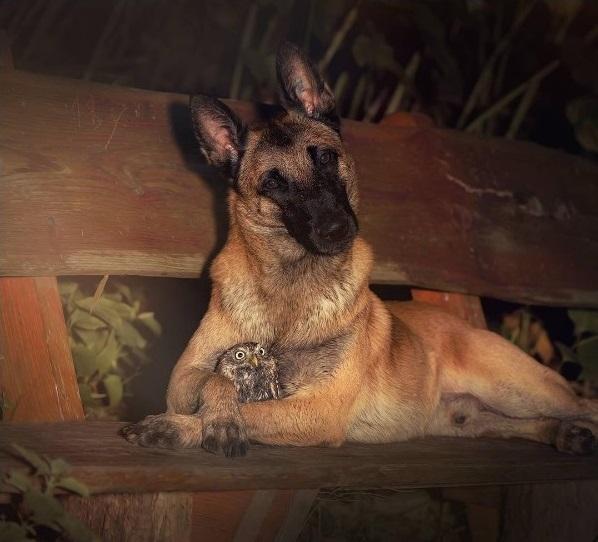 amistad-inusual-fotos-hermosas-perro-belga-y-pequeno-mochuelo-juntos-4