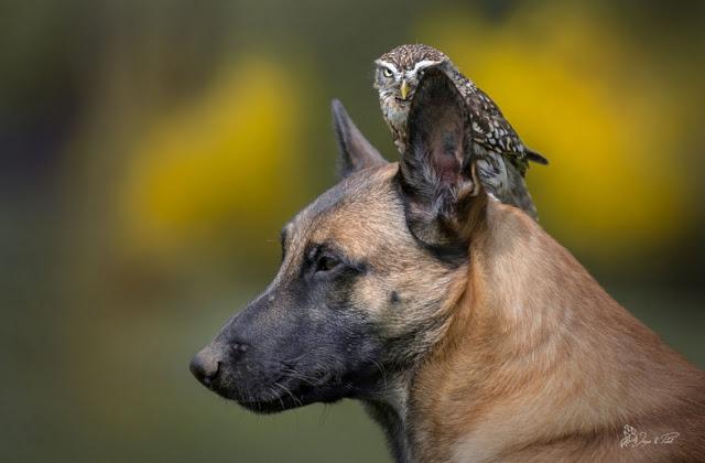 amistad-inusual-fotos-hermosas-perro-belga-y-pequeno-mochuelo-juntos-5