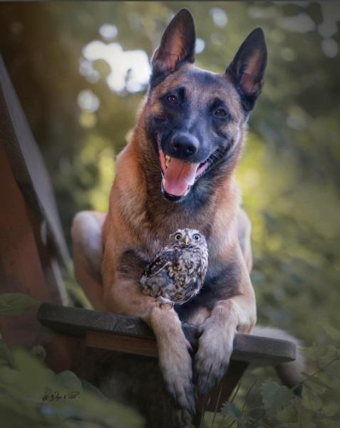 amistad-inusual-fotos-hermosas-perro-belga-y-pequeno-mochuelo-juntos-6