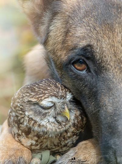 amistad-inusual-fotos-hermosas-perro-belga-y-pequeno-mochuelo-juntos-7