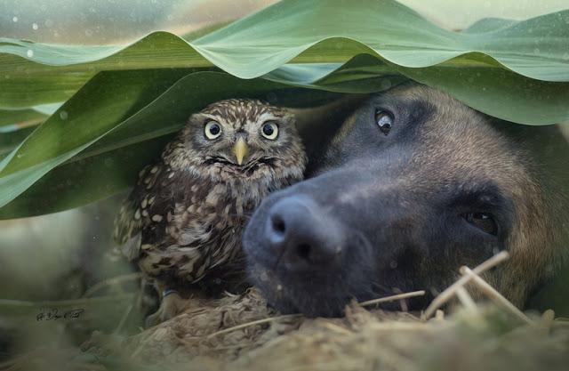 amistad-inusual-fotos-hermosas-perro-belga-y-pequeno-mochuelo-juntos-9