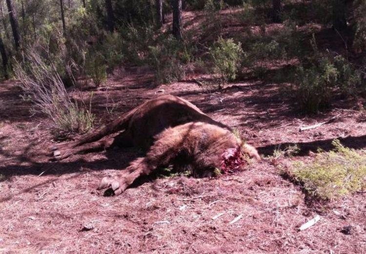 bisonte-decapitado-reserva-valdeserrillas-1