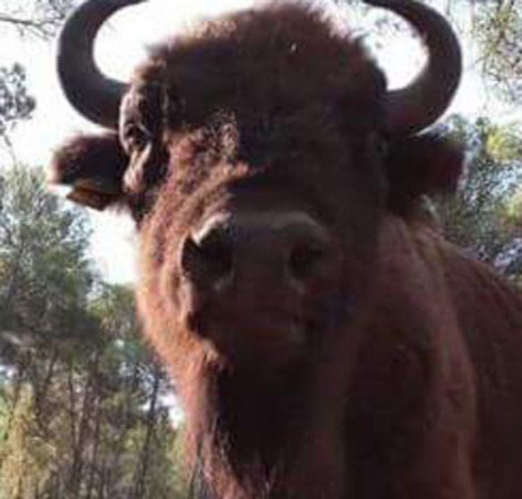 bisonte-decapitado-reserva-valdeserrillas-2