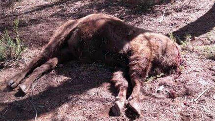 bisonte-decapitado-reserva-valdeserrillas-3