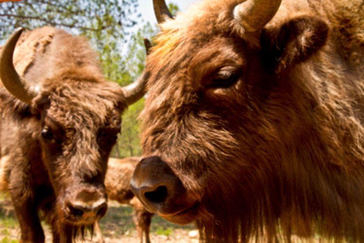 bisonte-decapitado-reserva-valdeserrillas-4