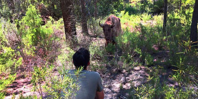 bisonte-decapitado-reserva-valdeserrillas-5