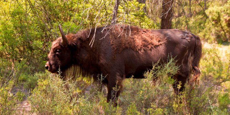 bisonte-decapitado-reserva-valdeserrillas-6