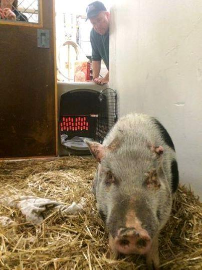 cerdo-que-fue-abusado-3