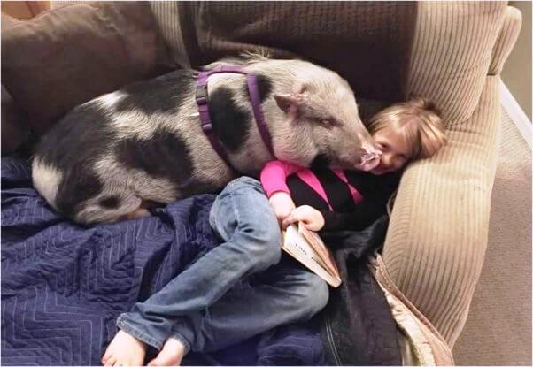 cerdo-que-fue-abusado-5