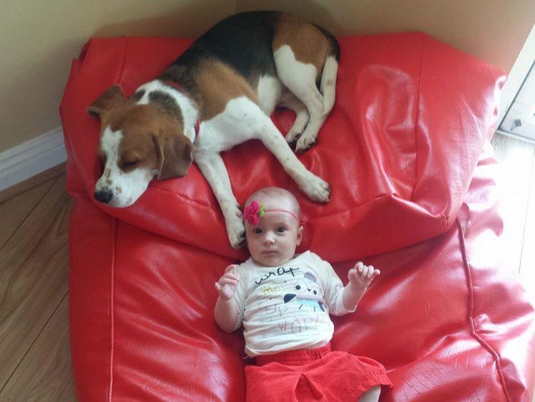 charlie-perro-beagle-cuida-bebe-4