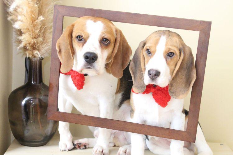 charlie-perro-beagle-cuida-bebe-5