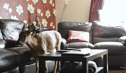 ciervo-rescato-quien-cree-que-es-un-perro-10