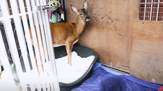 ciervo-rescato-quien-cree-que-es-un-perro-11