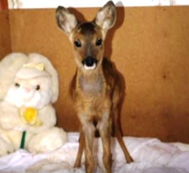 ciervo-rescato-quien-cree-que-es-un-perro-2
