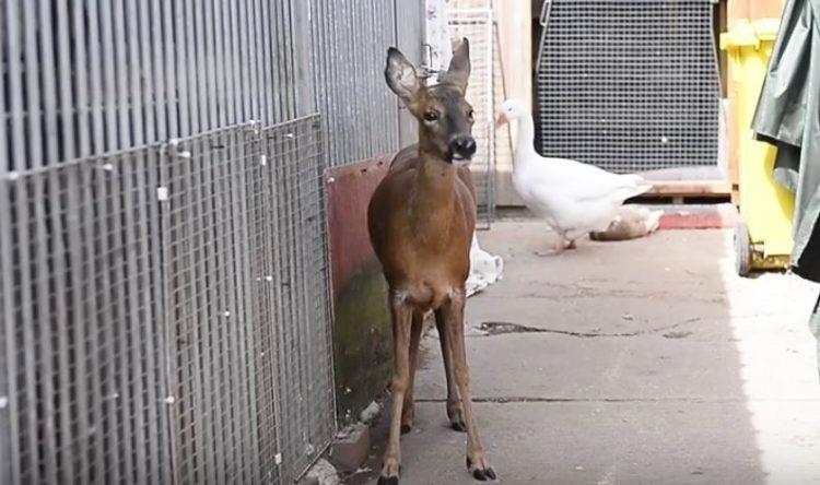 ciervo-rescato-quien-cree-que-es-un-perro-5