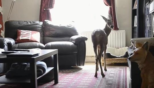 ciervo-rescato-quien-cree-que-es-un-perro-6