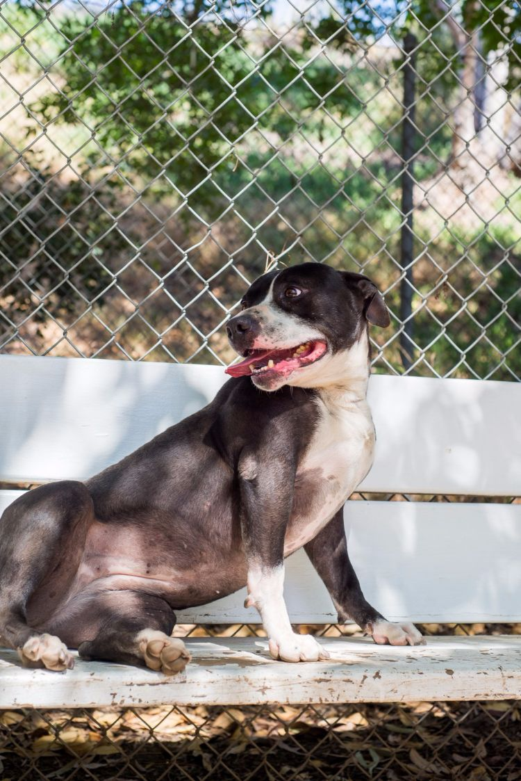 dahlia-perra-para-adopcion-1