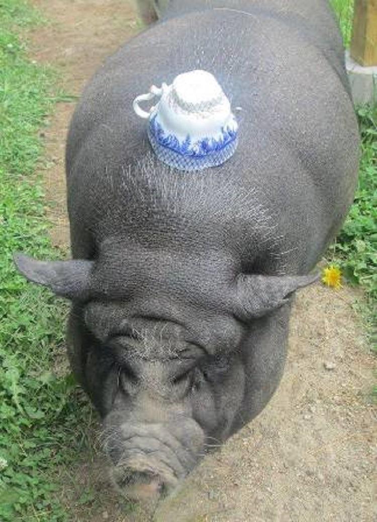 Debes saber que un cerdo taza de te va a crecer 1