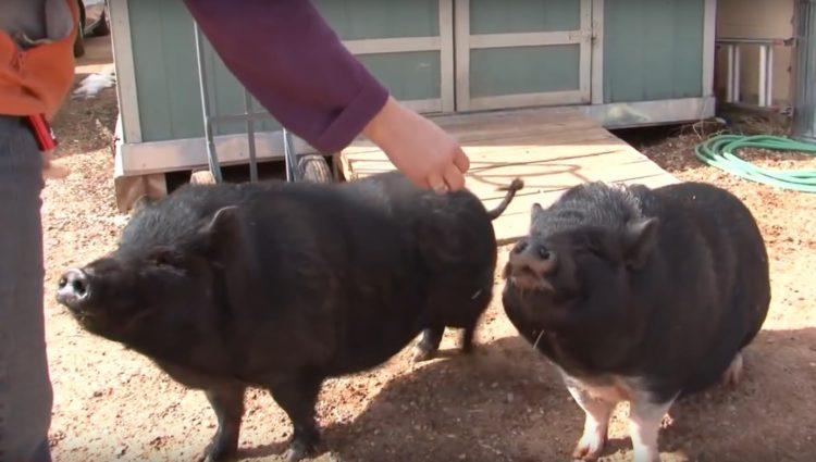 Debes saber que un cerdo taza de te va a crecer 10
