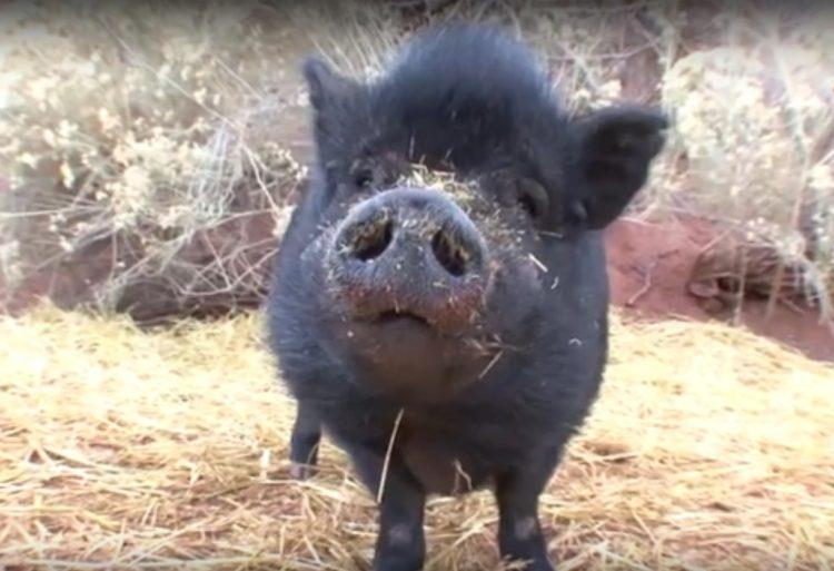 Debes saber que un cerdo taza de te va a crecer 11