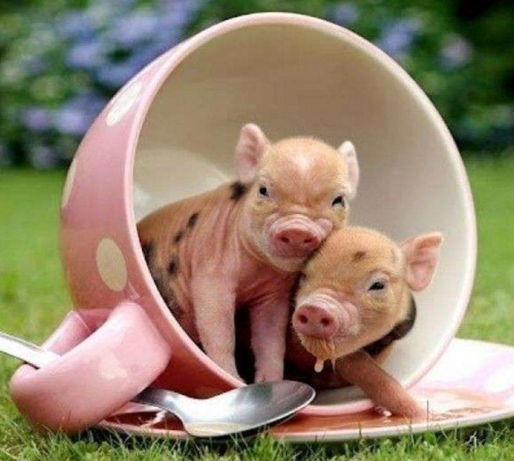 Debes saber que un cerdo taza de te va a crecer 12